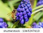 Honeybee In Springtime Sunshine ...