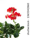 kalanchoe plant with red... | Shutterstock . vector #1365342860