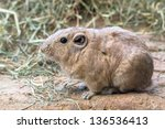Gundi on the rock closeup (African rodent)