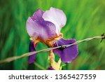 Purple Iris Macro With Barbed...
