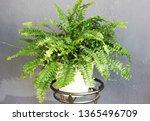 A Nephrolepis Plant