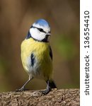 Close up front view of a bluetit standing on a brabch