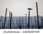 black headed gulls and sunset... | Shutterstock . vector #1365604769