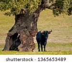 Fighting bulls in the dehesa in ...