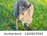 Wallaby Out Early Morning...