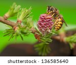 larch flower and wasp | Shutterstock . vector #136585640