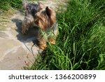 Stock photo photo puppy dog breed yorkshire terrier puppy yorkshire terrier for a walk dog on the 1366200899