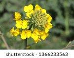 Rape Flower Bud Brassica Napus...