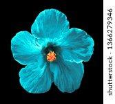 Turquoise Hibiscus Syriacus...