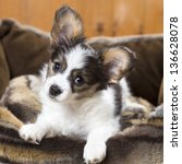 Stock photo papillon puppy in bed on wooden background 136628078