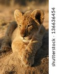 lion cub in africa | Shutterstock . vector #136636454