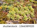 saxifraga paniculata  alpine...   Shutterstock . vector #1366389020