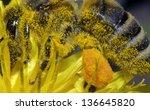 bee on dandelion | Shutterstock . vector #136645820