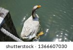 a swan floating in the lake in... | Shutterstock . vector #1366607030