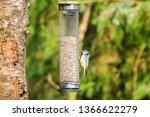 Blue Tit Feeding From A Bird...