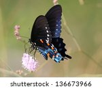 Pipevine Swallowtail On Pink...