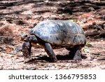 Stock photo red legged tortoise walking on sand in brazil 1366795853