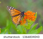 A Monarch butterfly on beautiful orange wildflowers in the Crex Meadows Wildlife Area in Northern Wisconsin