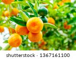 calamondine fruits  and foliage ... | Shutterstock . vector #1367161100