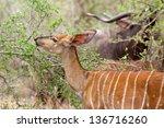 A Female Nyala Browsing In The...