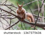 small squirrel sits on the tree ... | Shutterstock . vector #1367375636