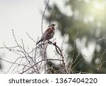thrush sits on the tree branch... | Shutterstock . vector #1367404220
