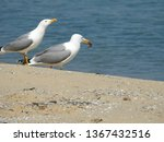Pair Of Seagulls On The...