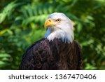 Color Portrait Of A Bald Eagle  ...