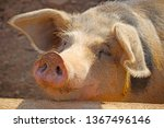 pig in a strye witha muddy ...   Shutterstock . vector #1367496146
