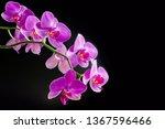 Pink orchid phalaenopsis on...