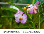 the orchidaceae are a diverse... | Shutterstock . vector #1367805209