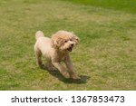 dog poodle run in the park | Shutterstock . vector #1367853473
