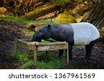 tapir in nature. malayan asian... | Shutterstock . vector #1367961569