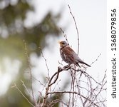 thrush sits on the tree branch... | Shutterstock . vector #1368079856