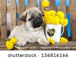 Pug Puppy And Spring Dandelions ...