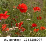 Red Poppies Grow Wild In A...