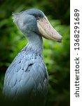 shoebill  balaeniceps rex ... | Shutterstock . vector #1368291689