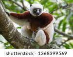 Madagascar  Coquerel\'s Sifaka ...