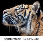 Sumatran Tiger Face Profile In...
