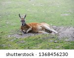 Relaxing Red Kangaroo  Macropus ...