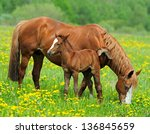 A horse with a calf in the...