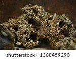 honeycomb worm  sabellaria... | Shutterstock . vector #1368459290