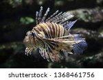 Red lionfish  pterois volitans ....