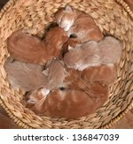 Stock photo seven little red kittens lying sleeping in wicker basket 136847039