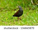 black tailed crake on grass... | Shutterstock . vector #136865870