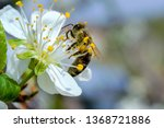 bees collects pollen from flowers - stock photo