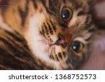 portrait of a cute cat. pussy...   Shutterstock . vector #1368752573