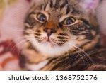portrait of a cute cat. pussy...   Shutterstock . vector #1368752576