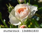 beautiful rose  close up of... | Shutterstock . vector #1368861833