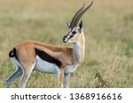 A Male Thompson Gazelle Lookin...